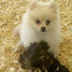Pomeranian is listed (or ranked) 9 on the list The Best Apartment Dogs