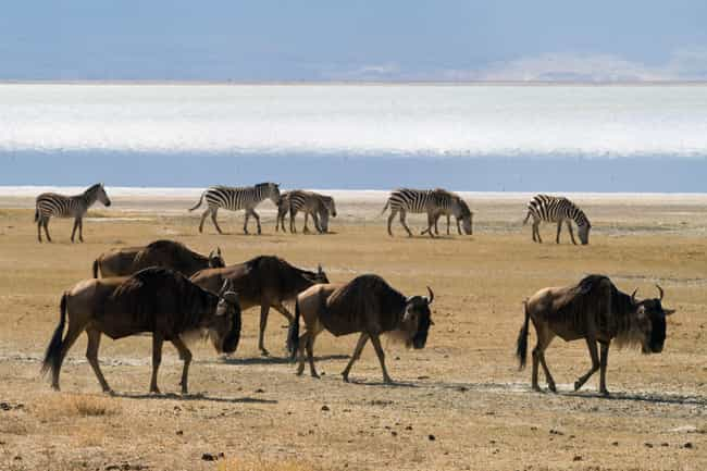 Wildebeest is listed (or ranked) 13 on the list 14 Of The Most Well-Traveled Creatures On The Planet