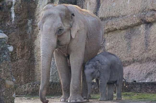 Elephant is listed (or ranked) 2 on the list Single Moms Of The Animal Kingdom Doin' It For Themselves