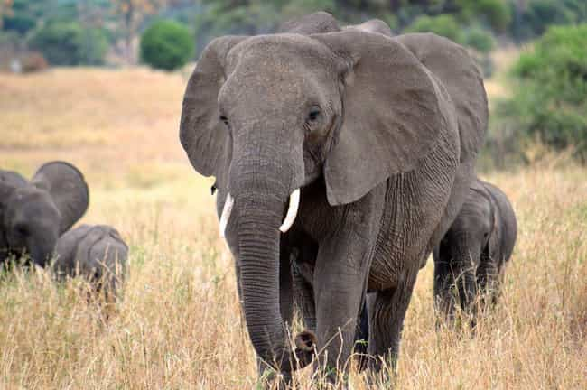 Elephant is listed (or ranked) 3 on the list The Most Charismatic Megafauna