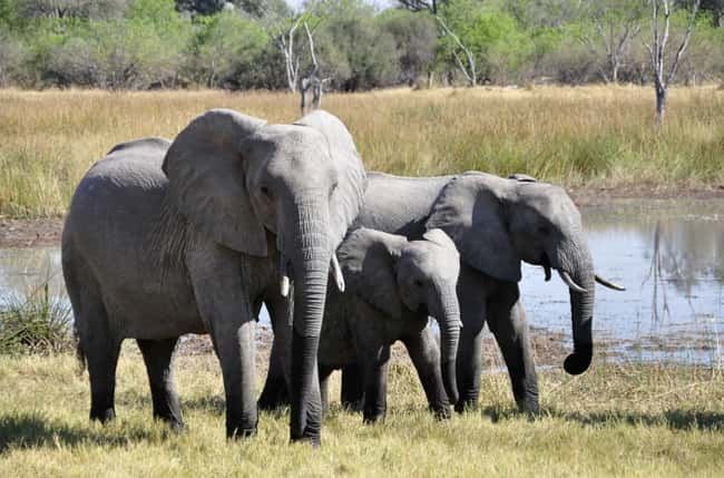 Elephant is listed (or ranked) 8 on the list 28 Cute Animals That You Don't Want To Mess With
