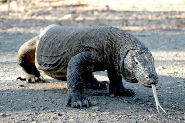 Komodo dragon is listed (or ranked) 3 on the list 10 Incredible Animals That Scientists Initally Didn't Believe Were Real