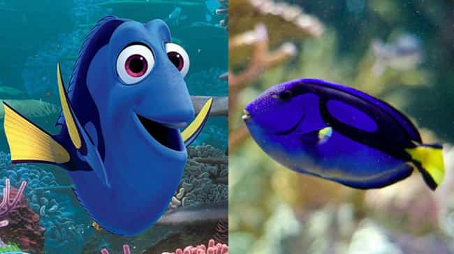 Blue tang is listed (or ranked) 1 on the list What the Species in Finding Dory Look Like in Real Life