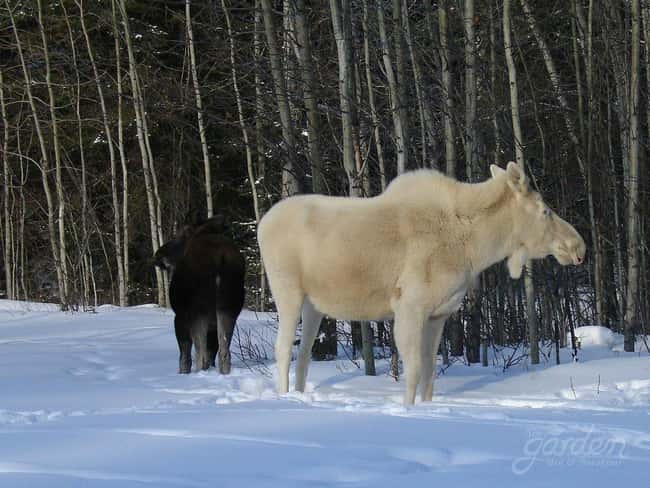 Moose is listed (or ranked) 22 on the list 38 Incredible Albino (and Leucistic) Animals