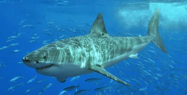 Great white shark is listed (or ranked) 2 on the list The Scariest Types of Sharks in the World