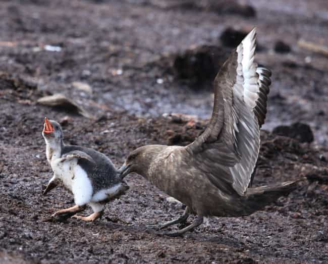 Skua is listed (or ranked) 4 on the list 15 Bizarre, Slightly Unsettling Animal Eating Habits