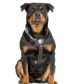 Rottweiler is listed (or ranked) 3 on the list The Best Dogs for Protection
