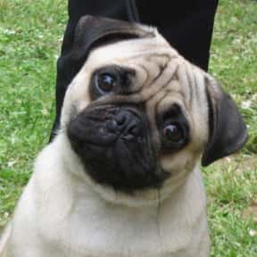 Pug is listed (or ranked) 22 on the list The Best Dogs for Kids
