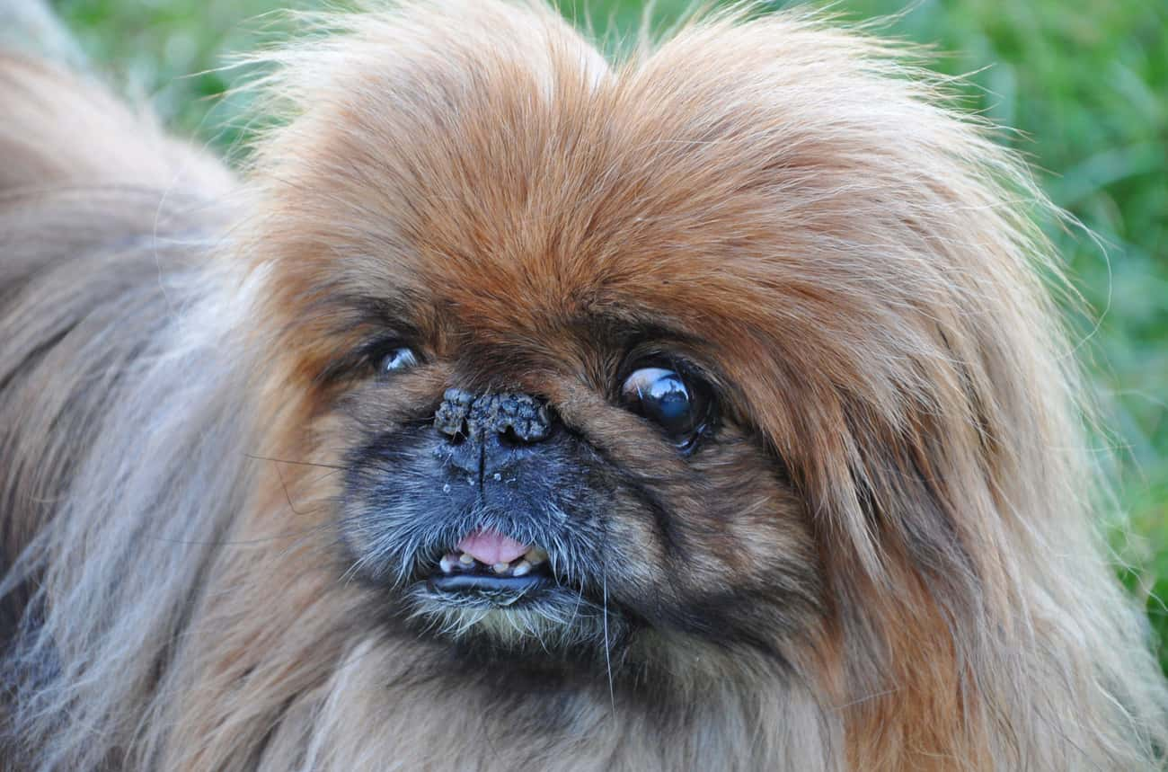 Brachycephalic Airway Obstruction Syndrome Makes Breathing Difficult For The Pekingese