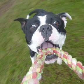 Staffordshire Bull Terrier is listed (or ranked) 16 on the list The Best Dogs for Kids