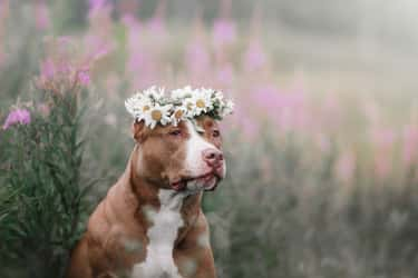 Pit Bulls is listed (or ranked) 1 on the list Pets That Are Banned Around The World (And Why)