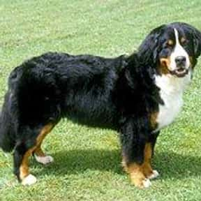 Bernese Mountain Dog is listed (or ranked) 9 on the list The Best Dog Breeds for Families
