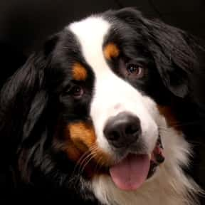 Bernese Mountain Dog is listed (or ranked) 8 on the list The Very Best Dog Breeds, Ranked