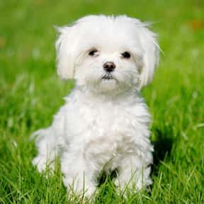 Maltese Dog is listed (or ranked) 1 on the list The Best Dogs for Allergies