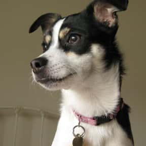 Rat Terrier is listed (or ranked) 16 on the list The Best Apartment Dogs