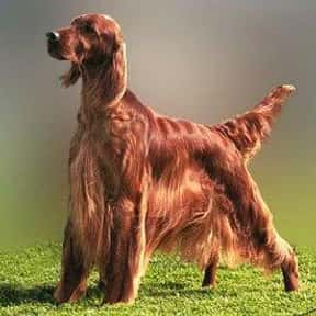 Irish Setter is listed (or ranked) 23 on the list The Best Dogs for Kids