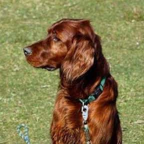 Irish Setter is listed (or ranked) 17 on the list The Best Dog Breeds for Families