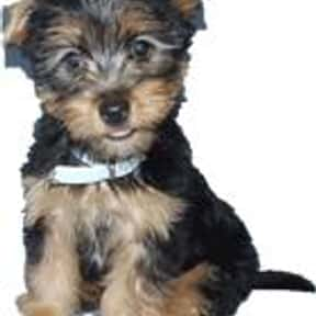 Australian Silky Terrier is listed (or ranked) 8 on the list The Best Apartment Dogs
