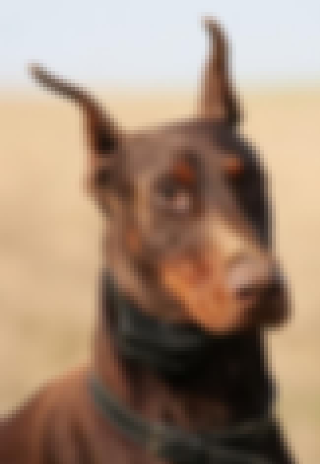 Dobermann is listed (or ranked) 4 on the list The Scariest Types of Dogs in the World