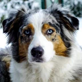 Australian Shepherd is listed (or ranked) 5 on the list The Very Best Dog Breeds, Ranked