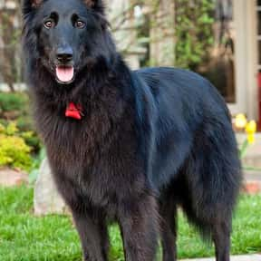 Belgian Shepherd Dog is listed (or ranked) 19 on the list The Best Guard Dogs for Families