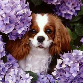 Cavalier King Charles Spaniel is listed (or ranked) 21 on the list The Very Best Dog Breeds, Ranked