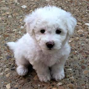 Bichon Frisé is listed (or ranked) 1 on the list The Best Apartment Dogs