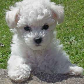 Bichon Frisé is listed (or ranked) 18 on the list The Best Dogs for Kids