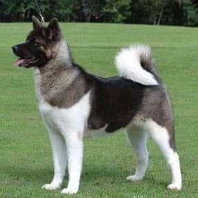 Akita Inu is listed (or ranked) 14 on the list The Very Best Dog Breeds, Ranked