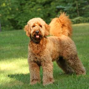 Goldendoodle is listed (or ranked) 21 on the list The Best Dog Breeds for Families