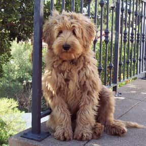 Labradoodle is listed (or ranked) 13 on the list The Best Dogs for Kids