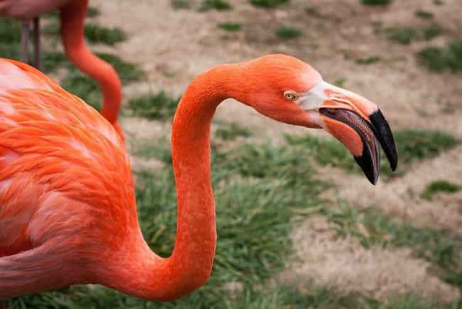 Flamingo is listed (or ranked) 2 on the list The Craziest Tongues In Nature