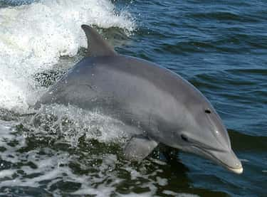 Bottlenose Dolphins Wear Spong is listed (or ranked) 1 on the list 11 Animals That Use Tools In Insanely Clever Ways
