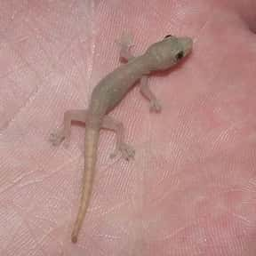 Gecko is listed (or ranked) 21 on the list The Best Pets for Kids