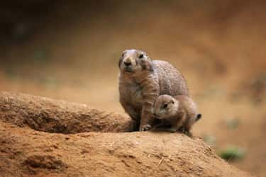 Prairie Dog and Pup is listed (or ranked) 5 on the list The Most Adorable Animal Parenting Moments