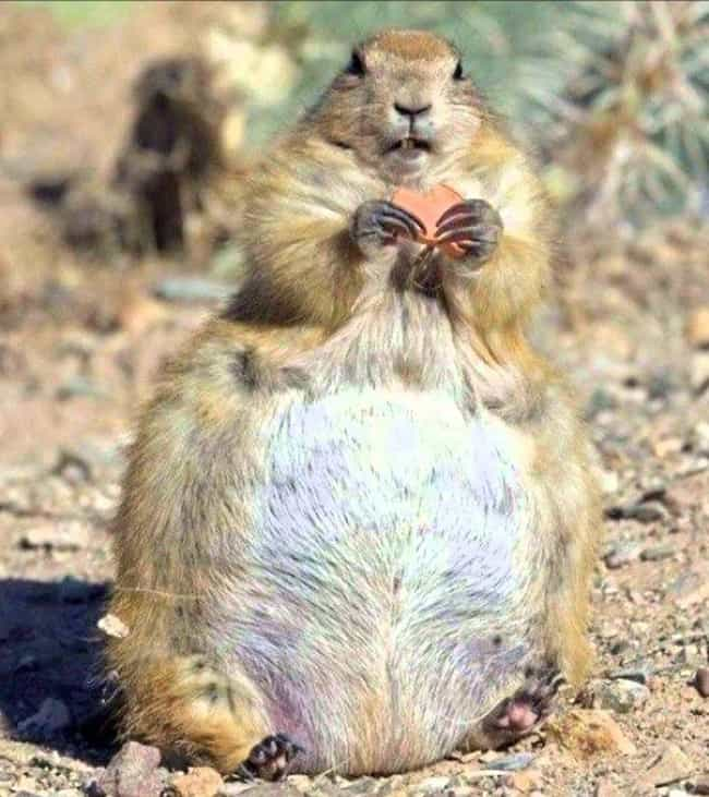 Prairie dog is listed (or ranked) 1 on the list Here's What 21 Different Animal Species Look Like Pregnant