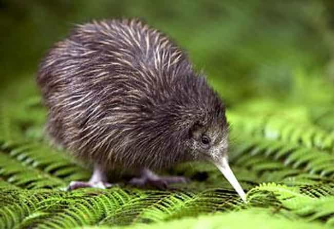 Kiwi is listed (or ranked) 1 on the list The Most Interesting Birds on Earth