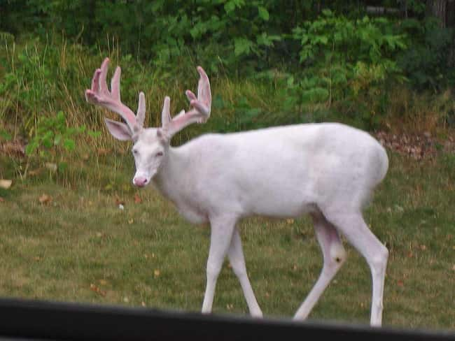 White-tailed Deer is listed (or ranked) 32 on the list 38 Incredible Albino (and Leucistic) Animals