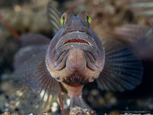 Goby is listed (or ranked) 2 on the list From Deadbeats To Cannibals - These Are The Worst Dads In The Animal Kingdom