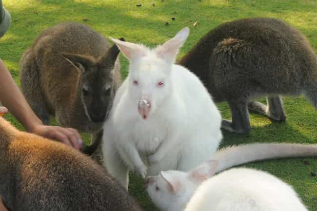 Rock-wallaby is listed (or ranked) 3 on the list 38 Incredible Albino (and Leucistic) Animals