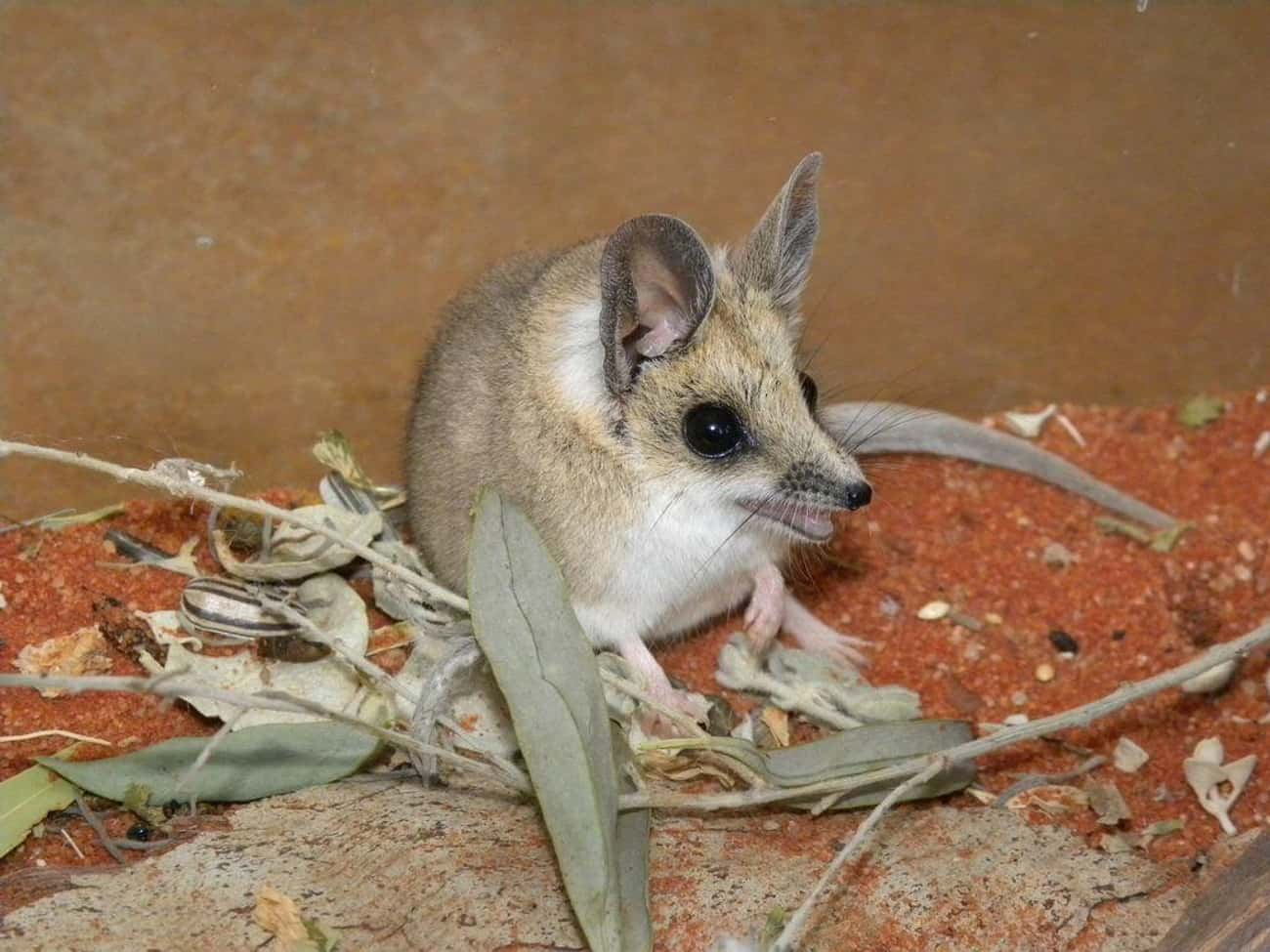 The Fat-Tailed Dunnart Is A Ti is listed (or ranked) 4 on the list 14 Of The Cutest Marsupials Most People Have Never Heard Of