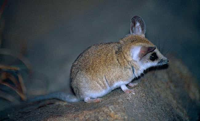 Dunnart is listed (or ranked) 4 on the list 14 Of The Cutest Marsupials Most People Have Never Heard Of