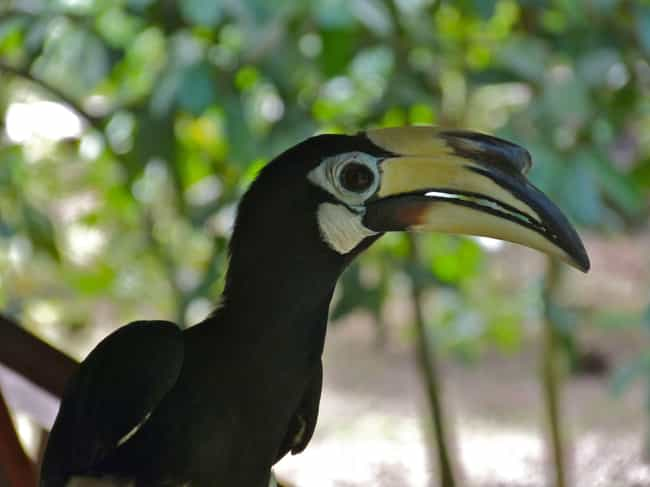 Oriental Pied-hornbill is listed (or ranked) 4 on the list The Weirdest And Scariest Bird Beaks