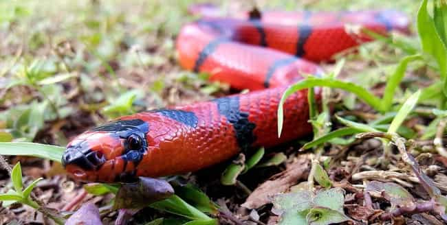 Milk Snake is listed (or ranked) 1 on the list What The Different Colors Of Snake Are Trying To Tell You