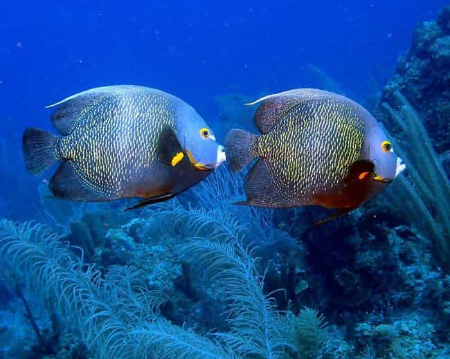French angelfish is listed (or ranked) 4 on the list 13 Monogamous Animals That Mate For Life