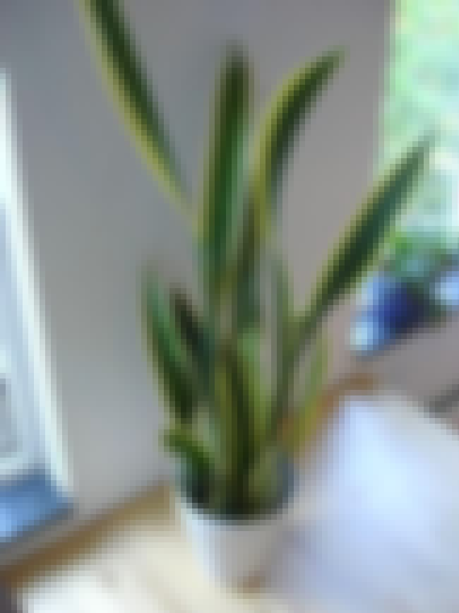 Sansevieria trifasciata is listed (or ranked) 4 on the list House Plants To Change Your Moods
