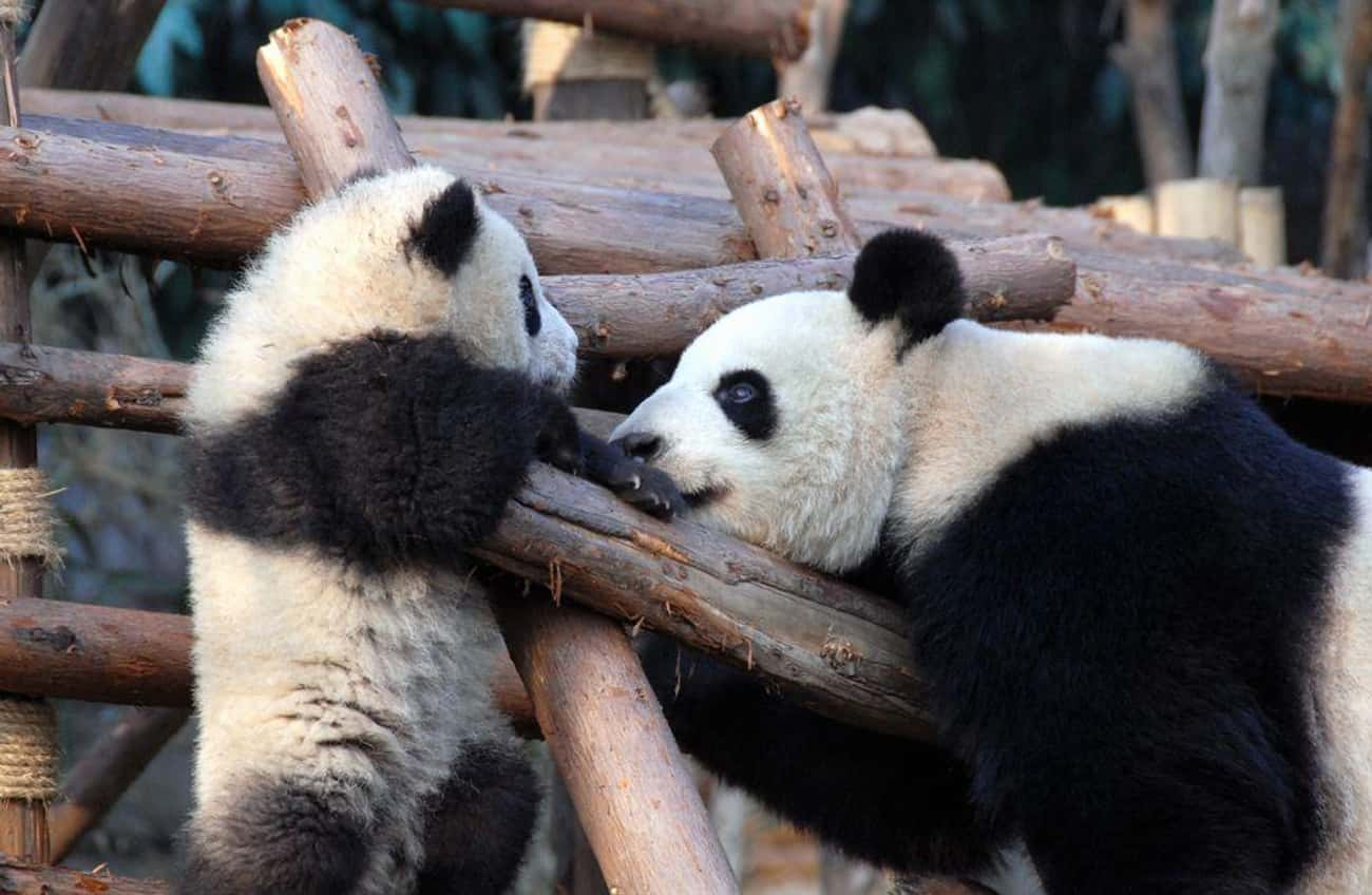 Giant Panda and Cub is listed (or ranked) 2 on the list The Most Adorable Animal Parenting Moments