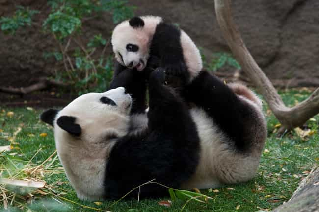 Giant Panda is listed (or ranked) 3 on the list The Most Adorable Animal Parenting Moments