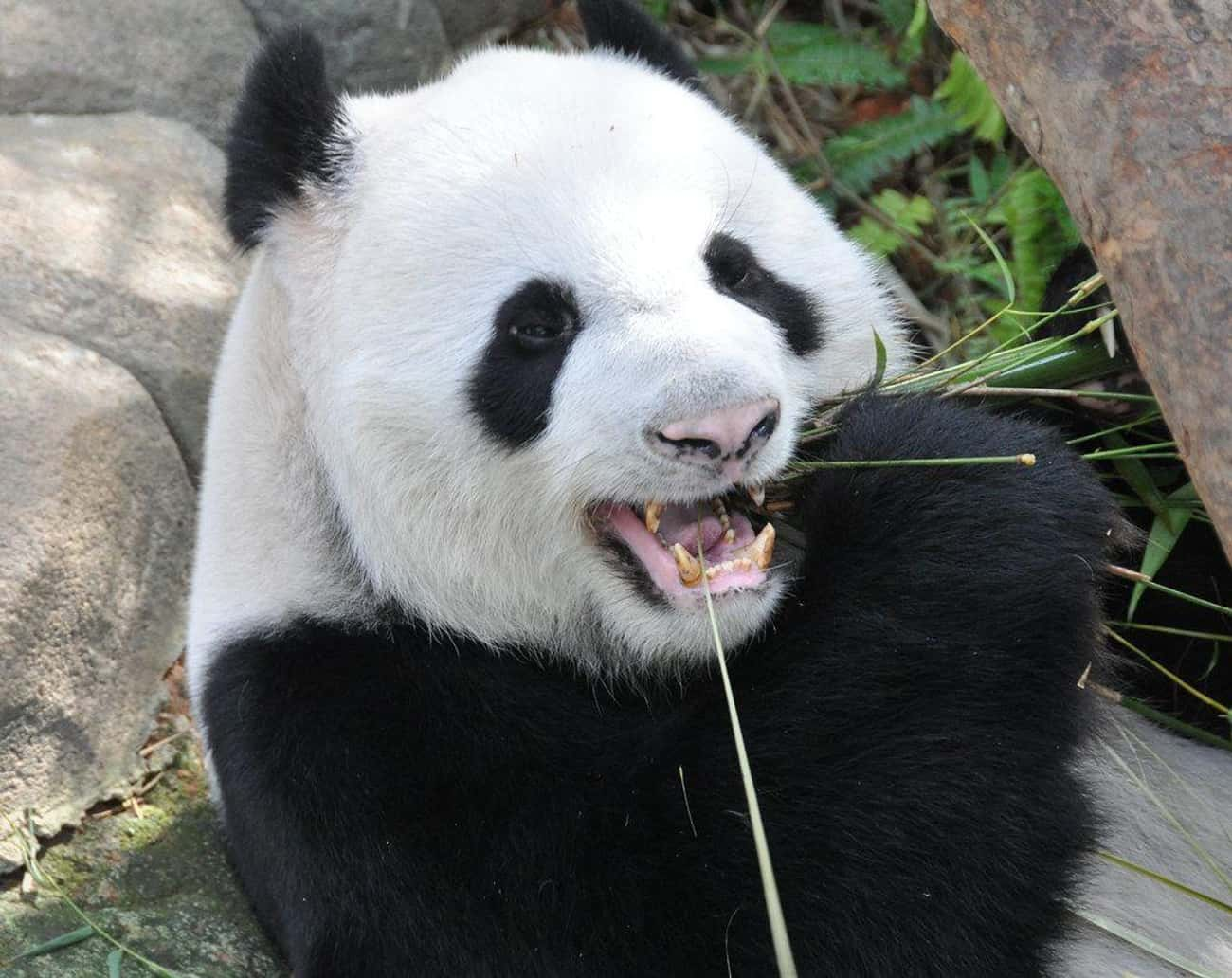 Giant Panda is listed (or ranked) 4 on the list The Most Charismatic Megafauna