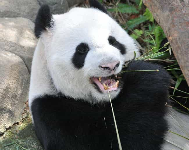 Giant Panda is listed (or ranked) 2 on the list The Most Charismatic Megafauna
